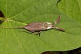 Water scorpion, Ptilomera sp.