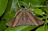 Bat moth, Lyssa zampa, 12 cm wing span
