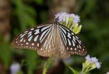 Ideopsis similis, wing span 8-9 cm