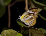 Appias olferna, female