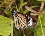 Common tiger, Danaus genutia