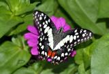Lime butterfly, Papilio demoleus