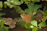 Frogs, night shot