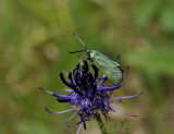Meaalvlinder vrouw op bolrapunzel