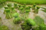 Yong rice is greener as green