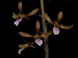 Eulophia graminea