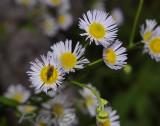 Zomerfijnstraal, Erigeron annuus ssp. septentrionalis