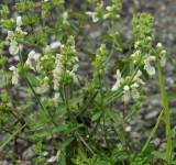 Kleverige sali, Salvia glutinosa