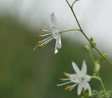 Grasleli, anthericum lilago, Zuid Limburg