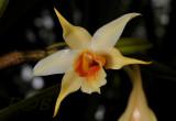 Dendrobium cariniferum, niet de wilde maar een selectie product.