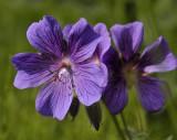 Geranium silvaticum