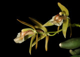 Wild tropical orchids, rare orchids and some hybrids,  Piet Brouwer