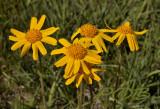 Wilde zonnebloem, Arnica montana