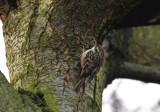 Tuinvogel op de oude els naast het kippenhok ( Boomkruiper )