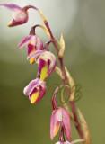 Bulbophyllum minutius, flowers 1 cm