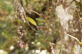 Bulbophyllum minutius, habitat 1500 mtr, 18 cel. 55% hum. - Sept. 16 cel. 80-90 %