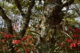 Bulbophyllum spathulatum, habitat on Lithocarpus truncatus, red flowers are Rhododendron simsii