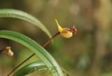Bulbophyllum capillipes