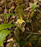 Bulbophyllum siamense