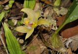 Bulbophyllum lobbii var. siamense, 1500 mtr. 19 cel. 50 %  day - 11 cel. 75 % at night