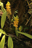 Cephalantheropsis obcordata