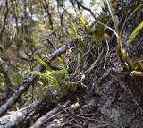 Bulbophyllum reptans