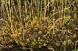 Bulbophyllum suavissimum