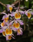 Dendrobium gratiotissimum, natural light no flash