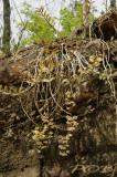 Dendrobium pulchellum, plant 2 mtr. across
