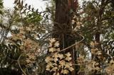 Dendrobium pulchellum, plant 1½  mtr. across