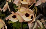 Dendrobium pulchellum, flowers 8-10 cm