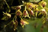 Dendrobium proteranthum, flowers 5 or 6 mm, 20 celcius hum. 55 % 1450 mtr. -  Night 11 cel. 70 %