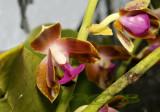 Phalaenopsis hygrochila var. marriottiana, Laos