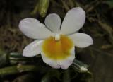 Dendrobium crepidatum, semi alba