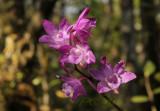 Dendrobium sp. close