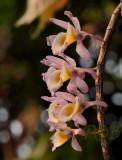 Dendrobium gratiotissimum pink variety, Laos