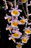 Dendrobium gratiotissimum pink variety, Laos,  natural light, natural color