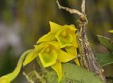 Dendrobium trigonopus