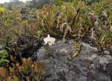 Dendr. infundibulum and Otochilus fuscus