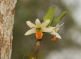 Dendrobium scabrilinque