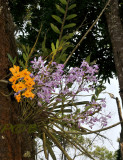 Dendrobium nobile and Dendr. fimbriatum