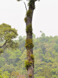Trunk of previous tree (Prunus arborea) covered with Coelogyne lentiginosa