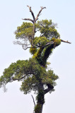 Nut tree, Prunus arborea with Coelogyne lentiginosa