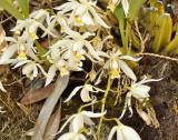 Pollinator C. lactea