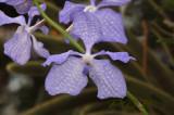 Vanda coerulea