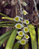 Dendrobium gratiotissimum var. alba, Birma, natural light no flash