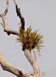 Cymbidium bicolor subsp. obtusum