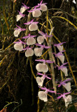 Dendr. polyanthum
