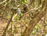 Monomeria barbata, dry season
