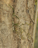 Acriopsis indica